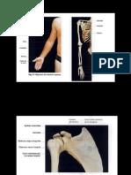 Morfofisiologia Osteologia Miembro Superior e Inferior