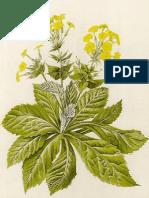 Flora Primulaceae2