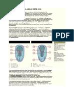 The Trilaminar Germ Disk