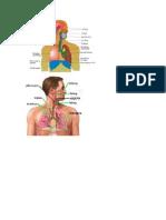 Anatomi Sistem Pernapasan