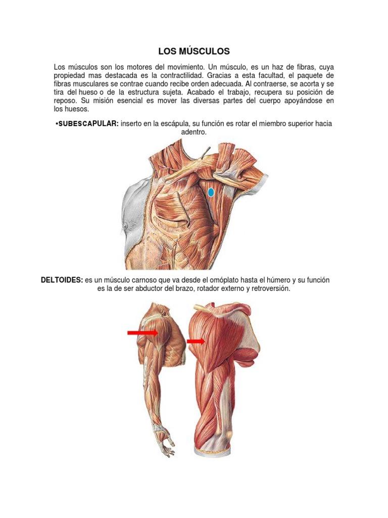 Perfecto Músculo Superior Del Cuerpo Viñeta - Imágenes de Anatomía ...