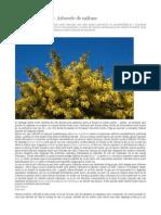 Mimosa – Albizia – Arborele de mătase