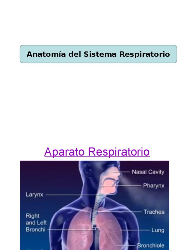 anatomía sistema respiratorio