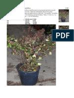 Abelia Mekaloan8h (Abelia Grandiflora)