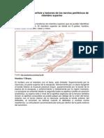 Anatomía de superficie y lesiones de los nervios periféricos de miembro superior (1)