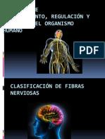Clasificacion de Fibras Nerviosas