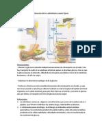 Proceso de digestión y absorción de los carbohidratos usando figuras
