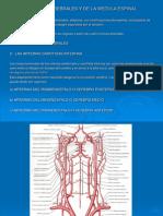 Arterias cerebrales y de la médula espinal