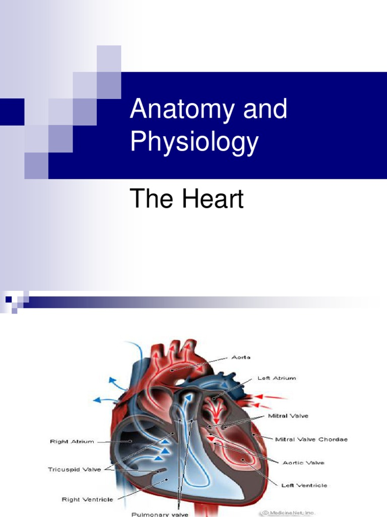 3963008 Anatomy and Physiology the Heart | Ventricle ...