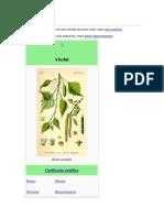 Betula (Abedul)