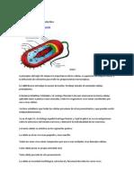 Célula procariota