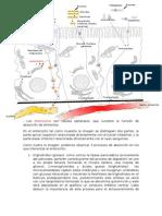 enterocito-120713130621-phpapp02