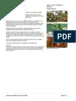 Anogeissus_latifolia