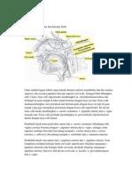 Anatomi Leher Dan Kelenjar Limfe