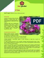 LobulariaMarittima.pdf