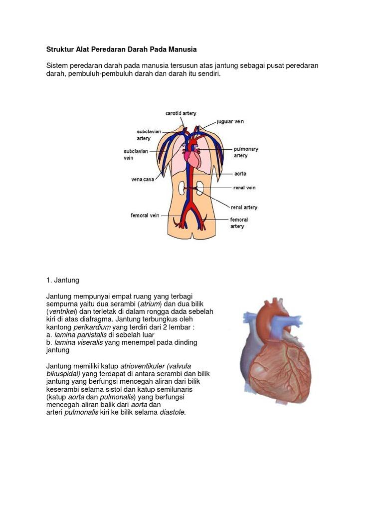 Struktur Alat Peredaran Darah Pada Manusia