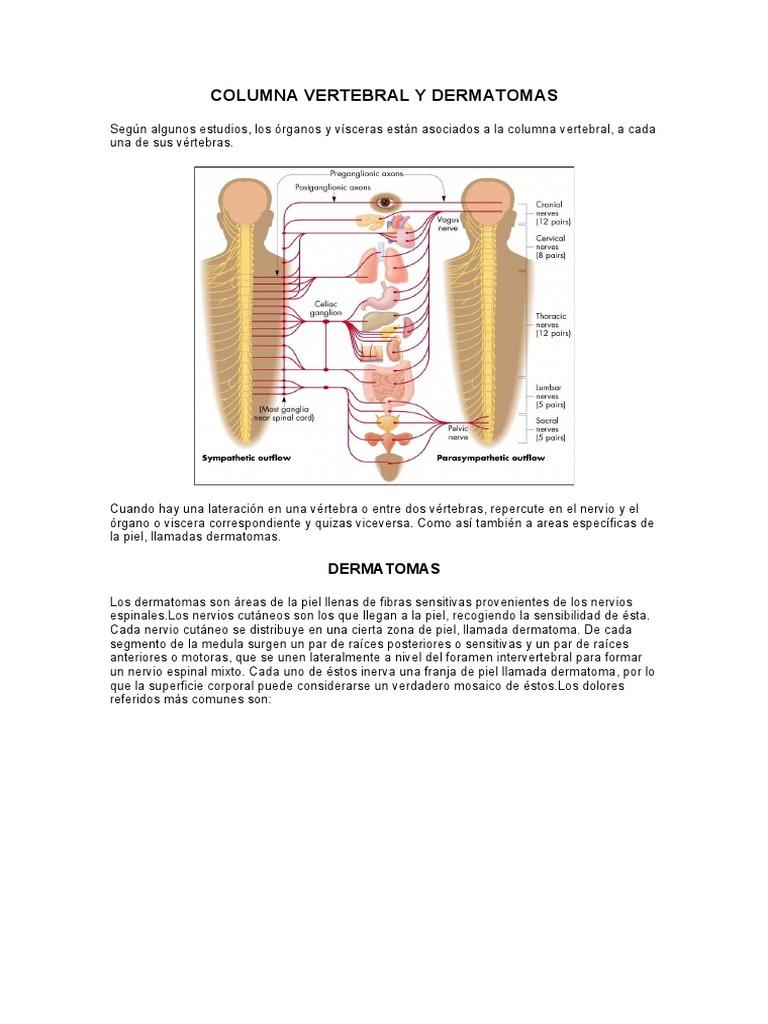 Dorable Dermatomas Cabeza Ilustración - Ideas de Anatomía ...