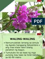 Alamat ng Waling-Waling