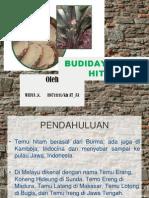 Budidaya Temu Hitam
