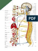 Gambar Sistem Saraf
