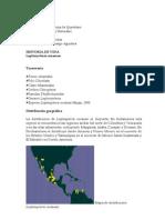 Leptonycteris curasoa1