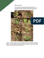 Cultivo Pimentão