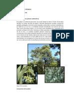 Aceite Esencial de Eucalipto - Proceso y Producto