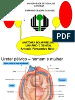 Anatomia do Sistema Urinário e Genital_2