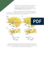 La Dopamina Es Un Neurotransmisor
