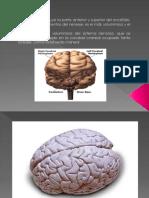 Cerebro 11