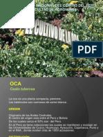 CULTIVO de Oca Oulluco