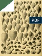 I molluschi dei terreni terziari del Piemonte e della Liguria; F. Sacco, 1891 - PARTE 8 - Paleontologia Malacologia - Conchiglie Fossili del Pliocene e Pleistocene