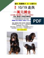 送養到花蓮的 西藏獒犬登登走失 獎金1萬