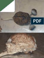 Anatomia Veterinária - Encefalo.pdf