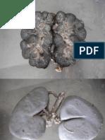 Anatomia Veterinária - Rins.pdf