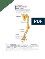 Huesos y Musculos Miembros Superior