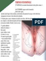 PERINEO FEMMINILE.pdf