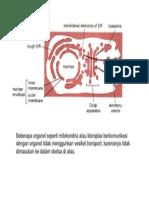 siklus penguncupan dan fusi pada Golgi.ppt