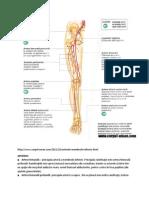 artera femurala.docx