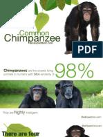 Common Chimpanzee -