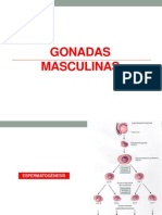 P4 GONADAS MASCULINAS