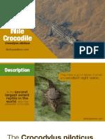 Nile Crocodile - A large African predator
