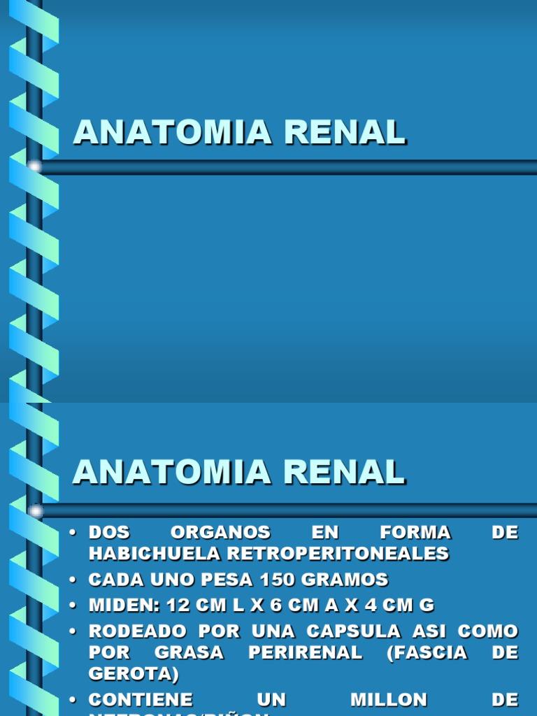 Anatomia, Fisiologia Renal