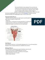 Anatomi Pharynx