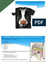 Anatomía del Sistema Reproductor bovino.pptx