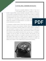 La Estructura Del Cerebro Humano