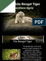 Bengal Tiger Presentation 2