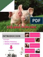 colera porcino