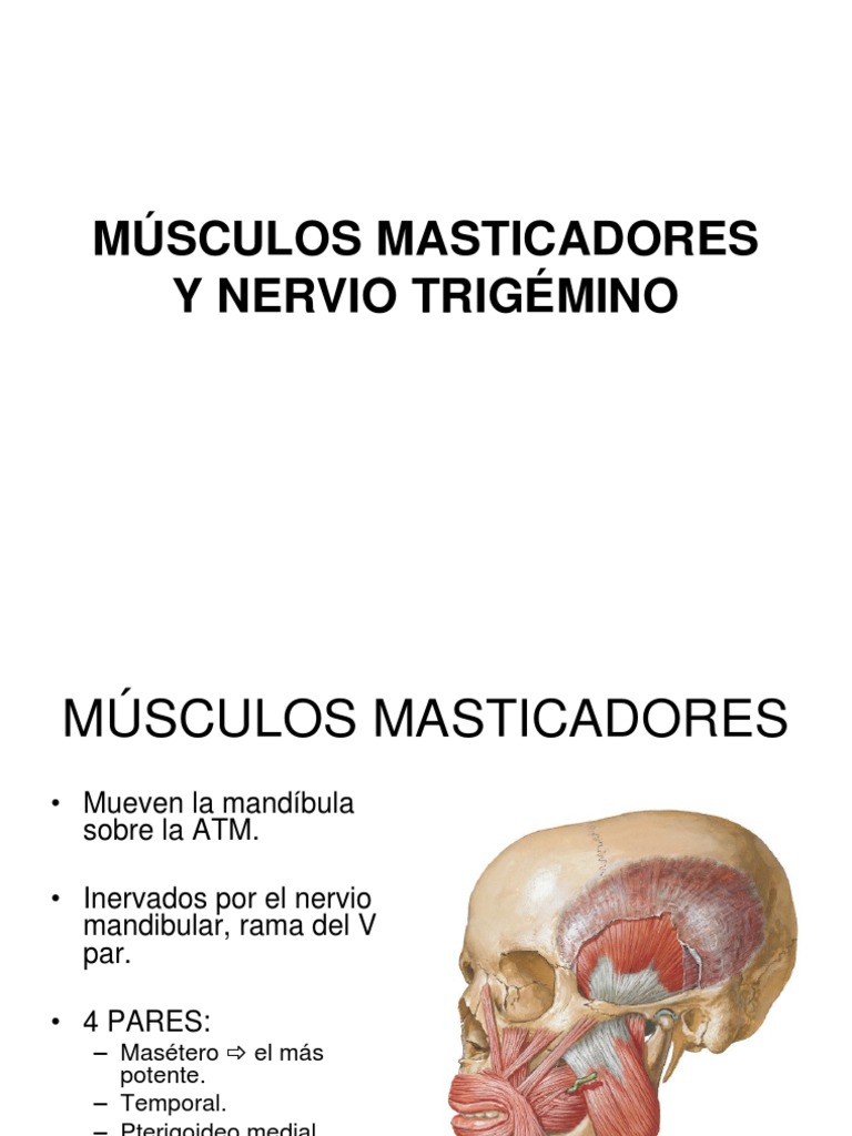 Musculos y Trigemino.
