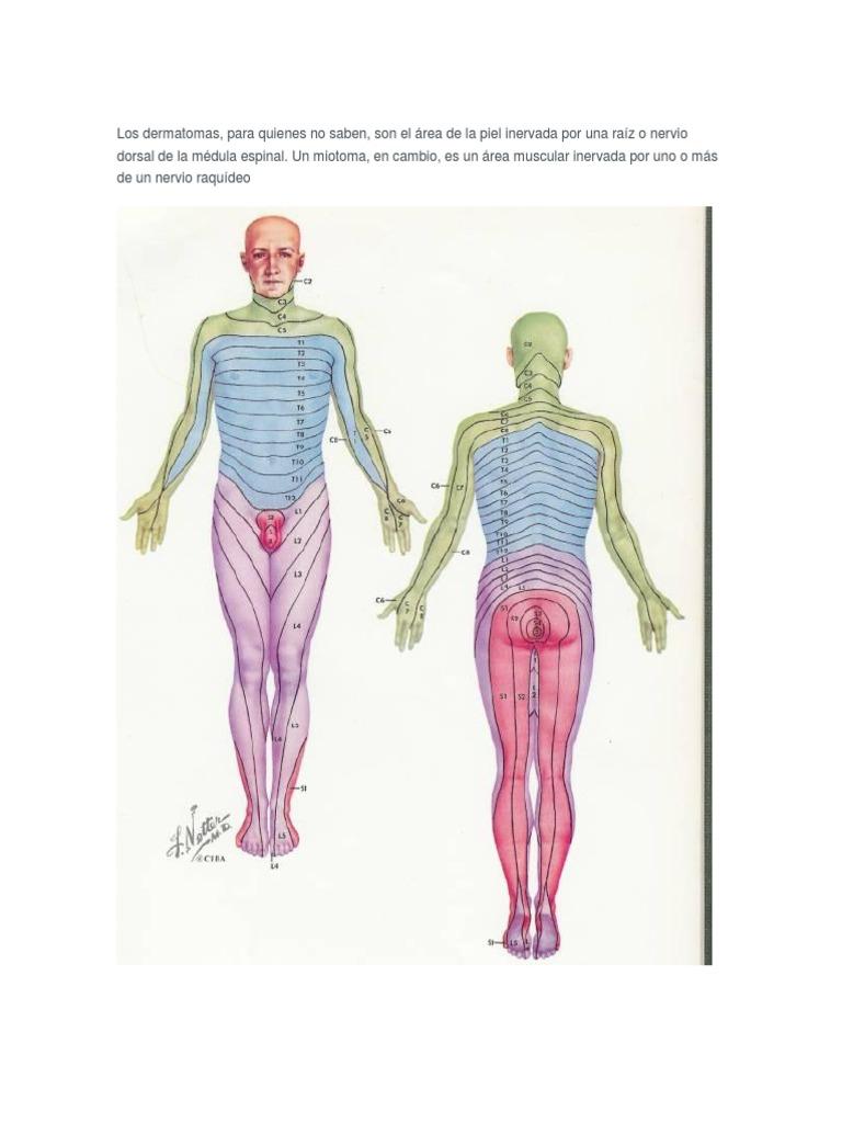Fantástico Dermatoma Nervio Sural Festooning - Imágenes de Anatomía ...